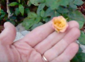 How To Press Flowers Small Roses Lynn Kelley Authorlynn Kelley